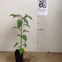 Chilli - Rocoto Tree For Sale (Size: Small)  (Grown from Seed)