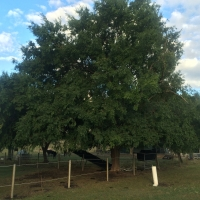 Chinese Elm at Rods By DaleysFruit.com.au [All Rights Reserved]