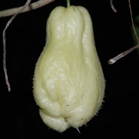White Choko or Chayote By jokoPix [CC0 1.0 (https://creativecommons.org/publicdomain/mark/1.0/)]