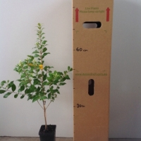 Cinnamon Myrtle For Sale (Size: Medium)  (Cutting Grown)