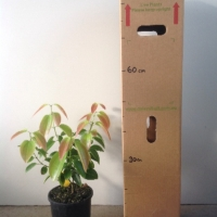 Cinnamon Tree For Sale (Size: Large)  (Cutting Grown)