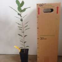 Coachwood For Sale (Size: Medium)  (Grown from Seed)