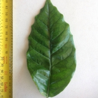 Leaf of the Coffee K7