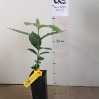 Coffee K7 For Sale (Size: Small)  (Grown from Seed)