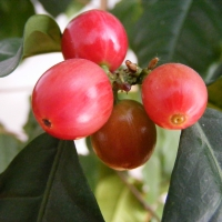 Coffee Fruit Beans Ripening to Red By Stanislaw Szydlo [GFDL (http://www.gnu.org/copyleft/fdl.html) or CC BY-SA 3.0 (https://creativecommons.org/licenses/by-sa/3.0)] from Wikimedia Commons