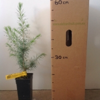 Cedar - Himalayan For Sale (Size: Medium)  (Grown from Seed)