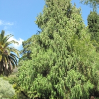 Cupressus torulosa in the gardens of the villa Hanbury By Tangopaso [Public Domain Mark 1.0 (https://creativecommons.org/publicdomain/mark/1.0/)], from Wikimedia Commons