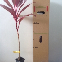 Cordyline - John Klass Red For Sale (Size: Medium)  (Cutting Grown)
