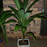 Excellant pot plant when young By DaleysFruit.com.au [All Rights Reserved]