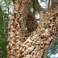 Cork Oak Close up