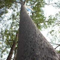 Spotted Gum Carnarvon Gorge By DaleysFruit.com.au [All Rights Reserved]