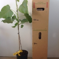 Cottonwood Poplar For Sale 165mm pot