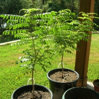 Curry Leaf tree grown in pots about 2-3 years old By Dlanglois [CC BY-SA 3.0 (https://creativecommons.org/licenses/by-sa/3.0/deed.en)] via Wikimedia Commons