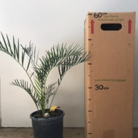 Cycad - Moores For Sale (Size: Large)  (Grown from Seed)