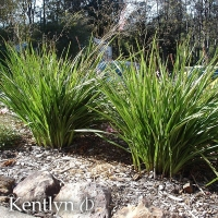 Dianella Kentlyn - By Ramm Botanicals [All Rights Reserved, Used By Permission]