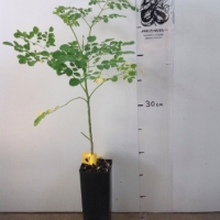 Drumstick Tree  ( Moringa ) For Sale (Size: Small)  (Grown from Seed)