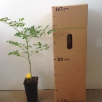 Drumstick Tree Moringa For Sale Mega Tube