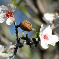 Almon Tree producing Nuts with Flowers By Victor R. Ruiz [CC BY 2.0 (https://creativecommons.org/licenses/by/2.0/)] via Flickr https://flic.kr/p/dLhAfp