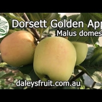 Growing Dorsett Golden Apple Fruit Trees in your backyard orchard youtube video By DaleysFruit.com.au [All Rights Reserved]