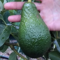 Pinkerton Avocado on Fruit Tree Closeup - Picture taken from Daleys Youtube Video on Pinkerton Avocados By DaleysFruit.com.au [All Rights Reserved]