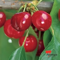 Dwarf Cherry - Trixzie Black Cheree
