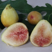 Dwarf Fig - Brown