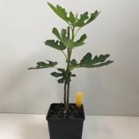 Dwarf Fig - Brown For Sale (Large)