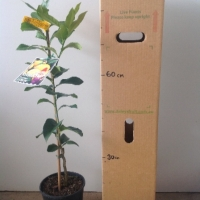 Dwarf Lemon - Eureka For Sale (Size: Large)  (Grafted)