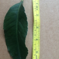 Leaf of the Dwarf Lemon Lisbon