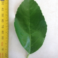 Leaf of the Dwarf Lemon Meyer