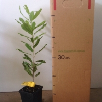 Dwarf Macadamia For Sale (Size: Medium)  (Grown from Seed)