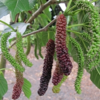 Dwarf Mulberry - Red Shahtoot