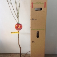 Dwarf Nectarine Fantasia For Sale Bare Root XL