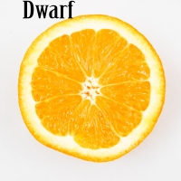 Dwarf Orange Modified Cropped By jarmoluk [CC0 1.0 (https://creativecommons.org/publicdomain/zero/1.0/deed.en)] From Pixabay