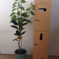Dwarf Orange - Valencia For Sale (Size: Large)  (Grafted)