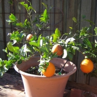 Dwarf Washington Navel Fruit Tree Growing in a pot By KatTaylor1 My Edible Page DaleysFruit.com.au [All Rights Reserved]
