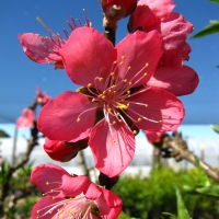 Dwarf Peach Flowers By DaleysFruit.com.au [All Rights Reserved]