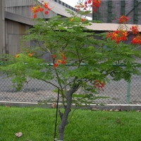 Poinciana - Dwarf Tree By Forest and Kim Starr [CC BY 2.0 (https://creativecommons.org/licenses/by/2.0/)] via Flickr https://flic.kr/p/DpEGFF