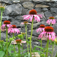 Echinacea flowers By DaleysFruit.com.au [All Rights Reserved]