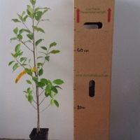 Fig - Emerald Standard For Sale (Size: Medium)  (Grown from Seed)