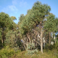 Eucalyptus olida, strawberry gum, dominated woodland with shrub understorey. By John Moss [Public domain], from Wikimedia Commons