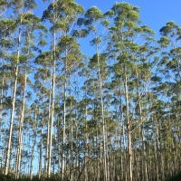 Dunns White Gum plantation Taverners Rd By DaleysFruit.com.au [All Rights Reserved]