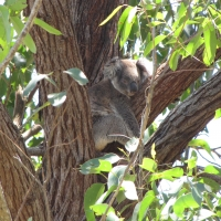 Tallowwood is a favourite tree for koalas By DaleysFruit.com.au [All Rights Reserved]
