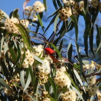 Scarlet honeyeater feeding on forest red gum flowers
