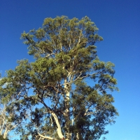 Forest Gum at West Wiangarie Kyogle