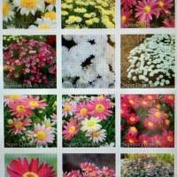 Group photo of mixed Federation Daisies By Ramms [All Rights Reserved,Supplier of DaleysFruit.com.au]
