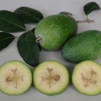 Feijoa Large Oval By DaleysFruit.com.au [All Rights Reserved]