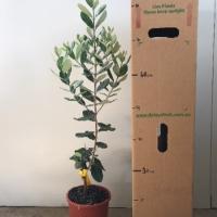 Feijoa - Nazematze For Sale (Size: Large)  (Grafted)