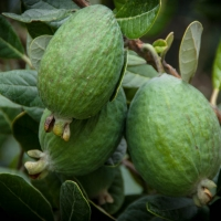 Feijoa on Fruit Tree By Jocelyn Kinghorn [CC BY-SA 2.0 (https://creativecommons.org/licenses/by-sa/2.0/)] From Flickr https://flic.kr/p/nnoMtP