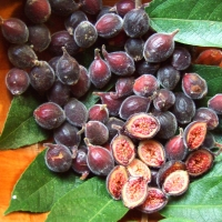 Sandpaper Fig fruit By DaleysFruit.com.au [All Rights Reserved]
